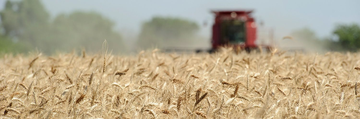 Wheat field with harvesting equipment in background