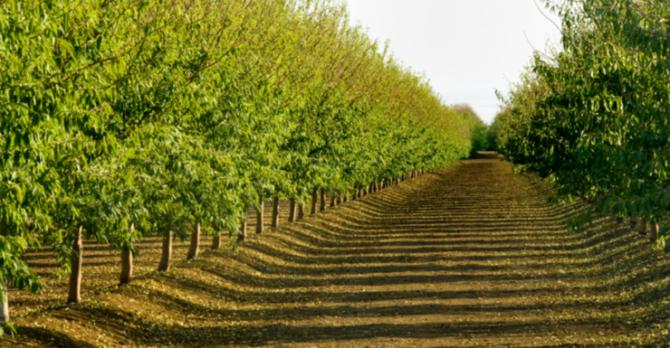 Rows of bright green trees in an orchard