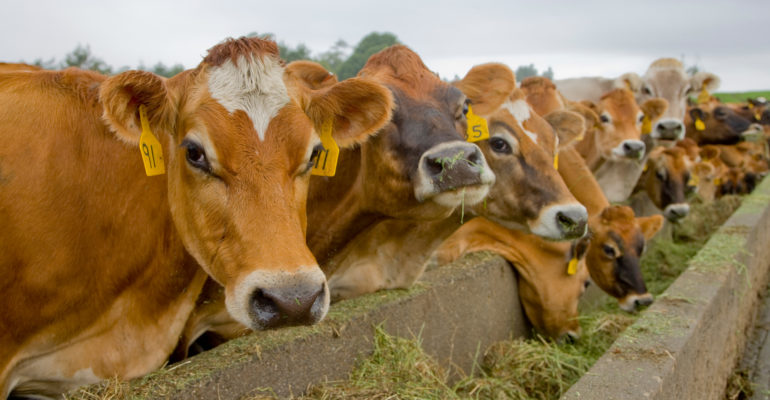 Row of cattle eating grass