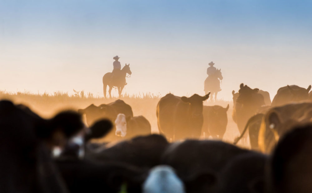 Silhouette of ranchers driving cattle