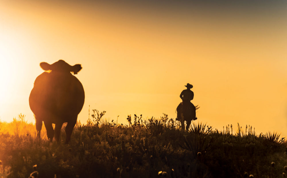 Cow and rancher on horseback in field