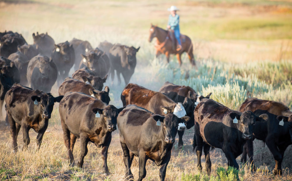 Ranch hands driving cattle across field