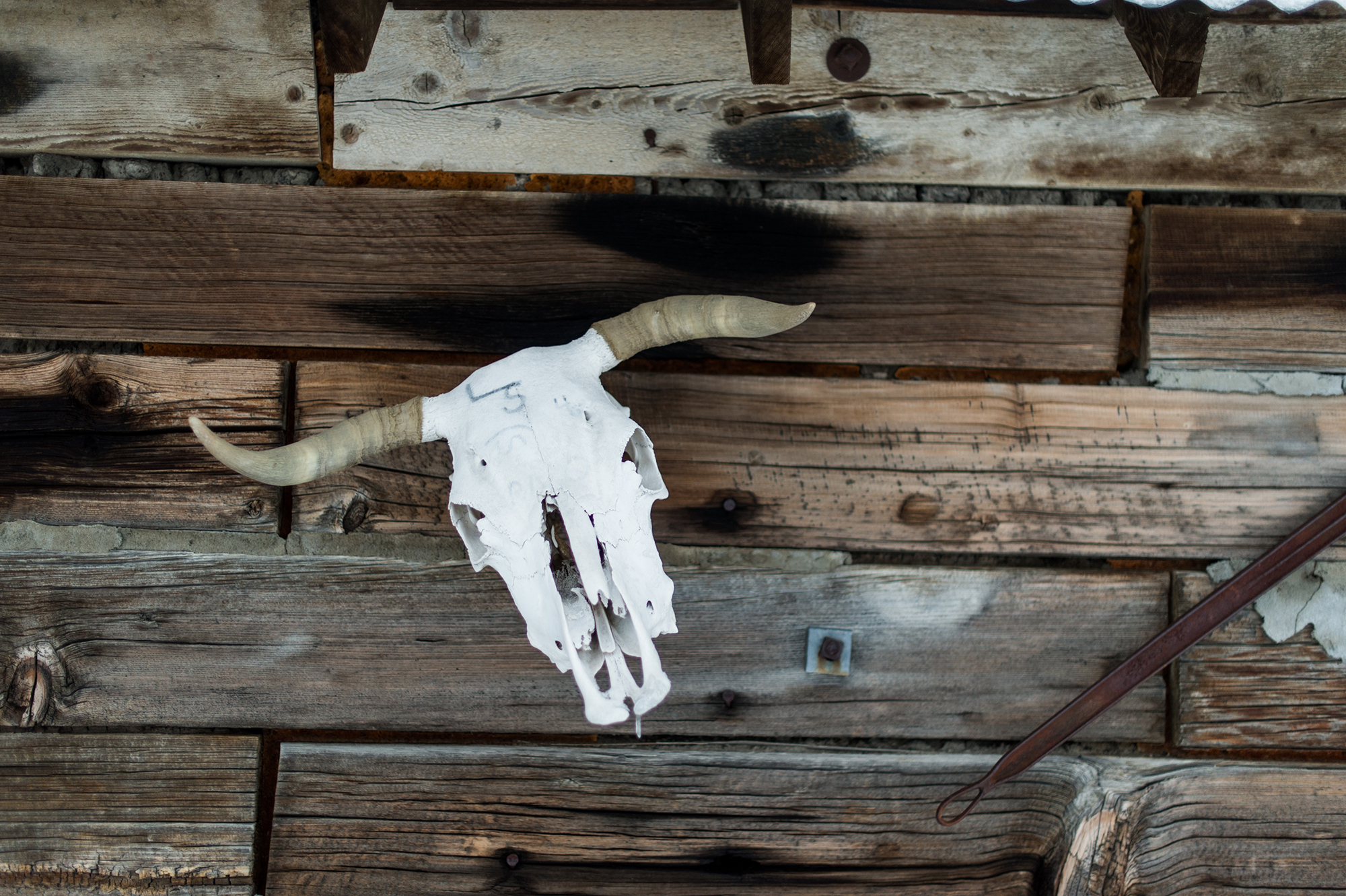 Cow skull on a rustic wooden wall