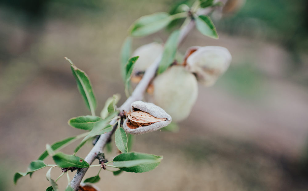 Close up of almond tree branch