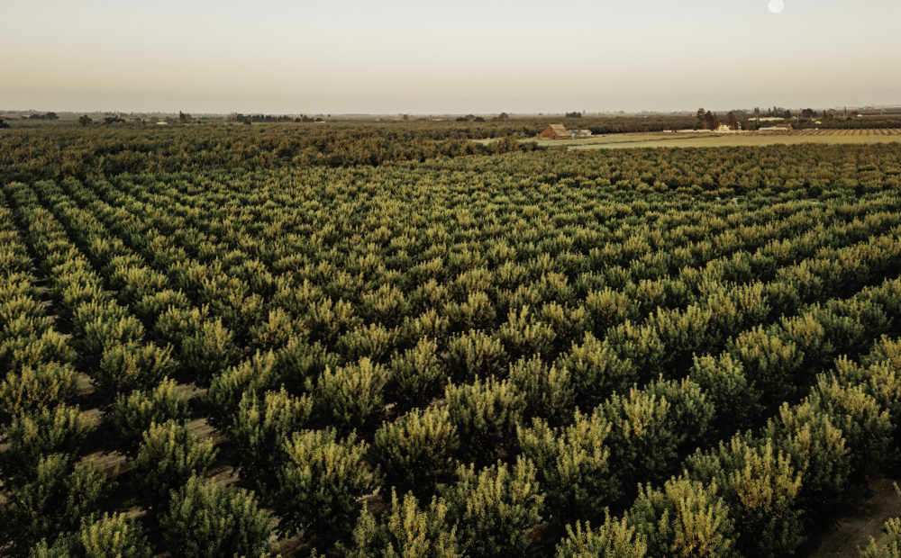 Rows of almond trees