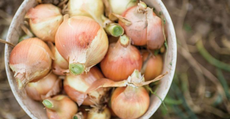 Onions in a bucket