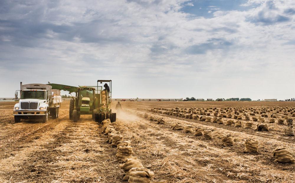 Machinery harvesting onion crop