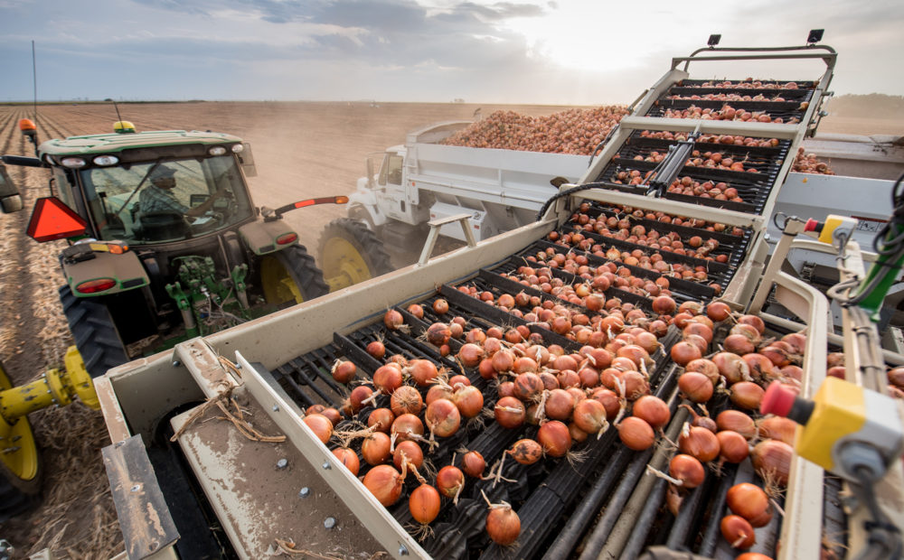 Onions being sorted on machinery