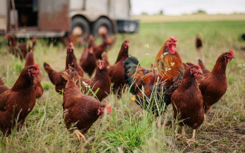 A group of hens and a rooster in a field of grass