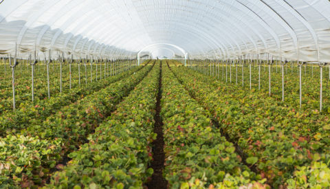 Rows of berry plants in a large enclosure