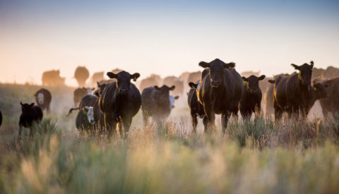Atmospheric shot of cattle in pasture at dusk
