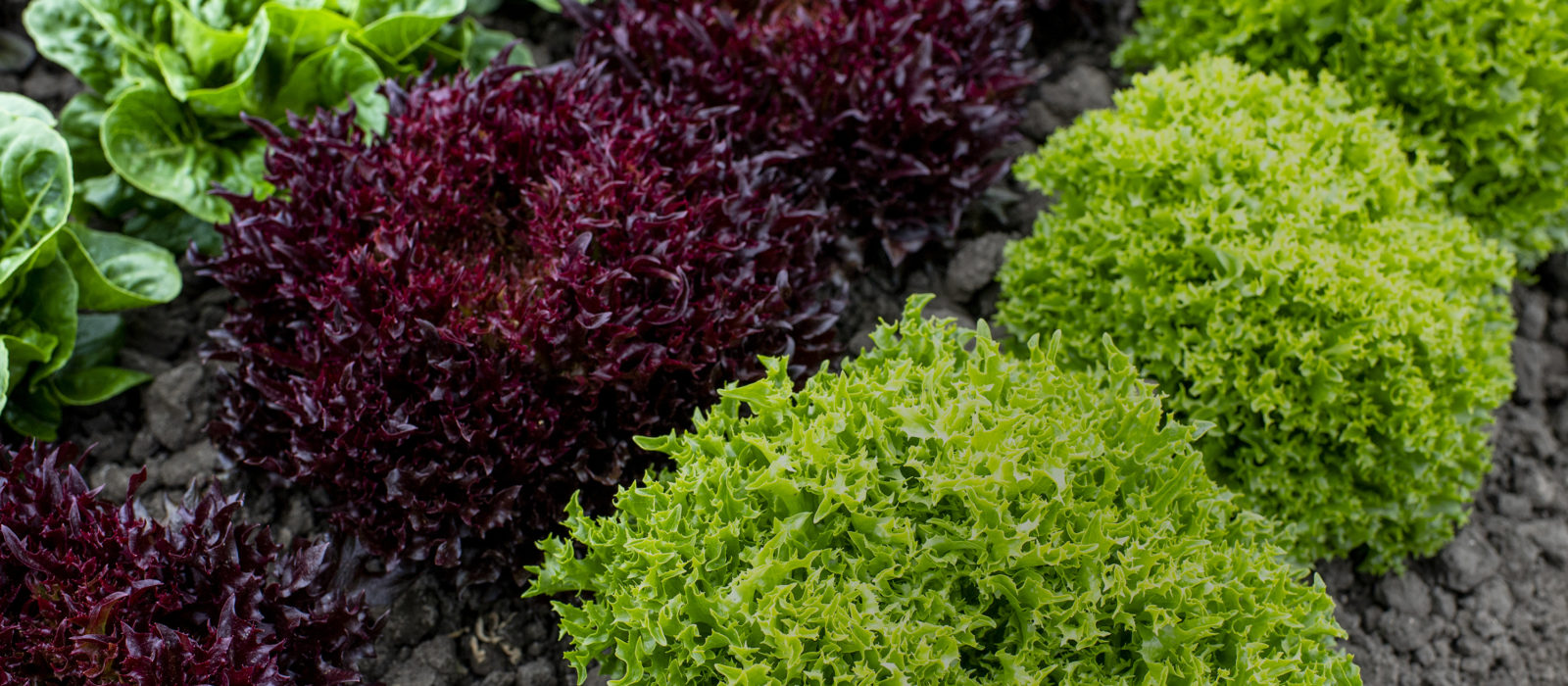 Close up of rows of different colors of lettuce