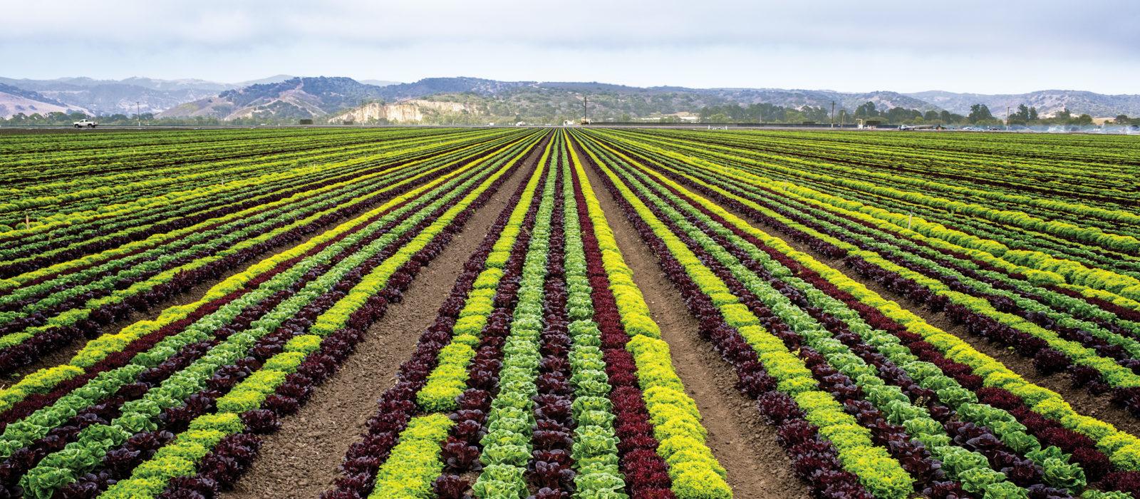 Landscape shot of row crops