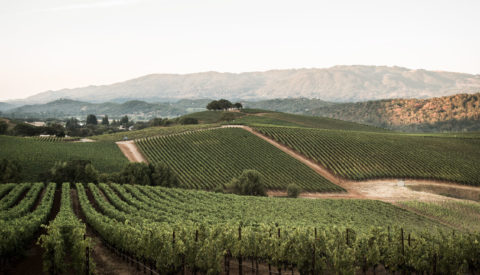 Landscape shot of vineyards in golden light