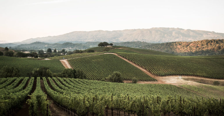 Landscape shot of vineyards in golden light
