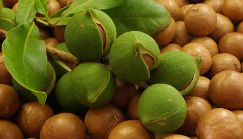 Close up of Macadamia nuts on the branch