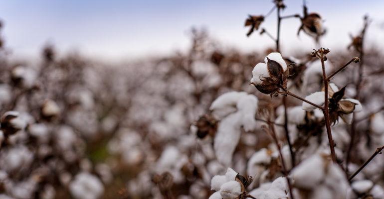 Cotton growing in field