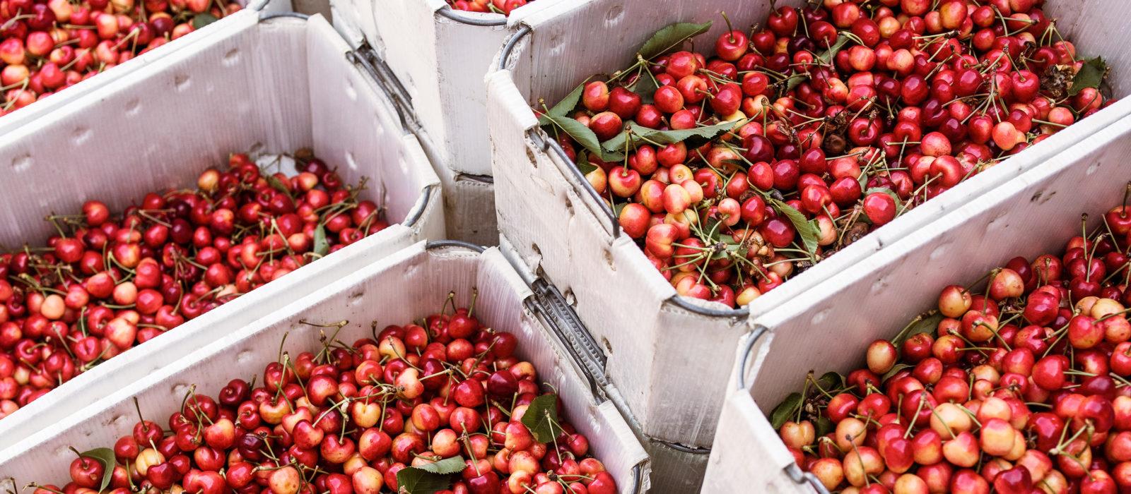 cherries in harvest bins