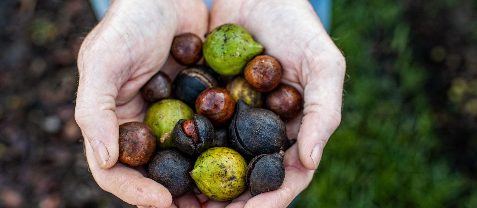 Closeup of hands holding macadamia nuts