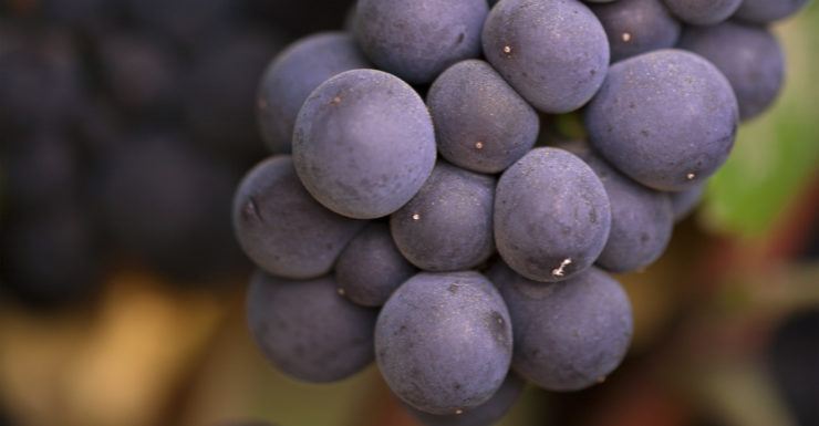 closeup of purple wine grapes