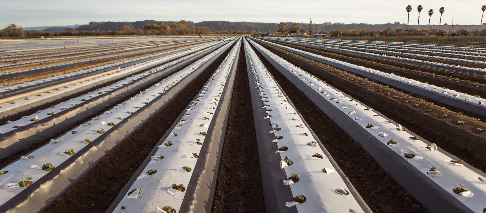 Berry farm row crops with plastic protective sheeting