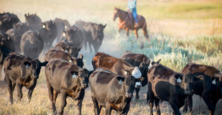 cattle with female rancher in the background