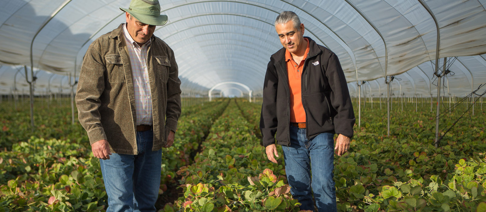 two farmers in strawberry nursery