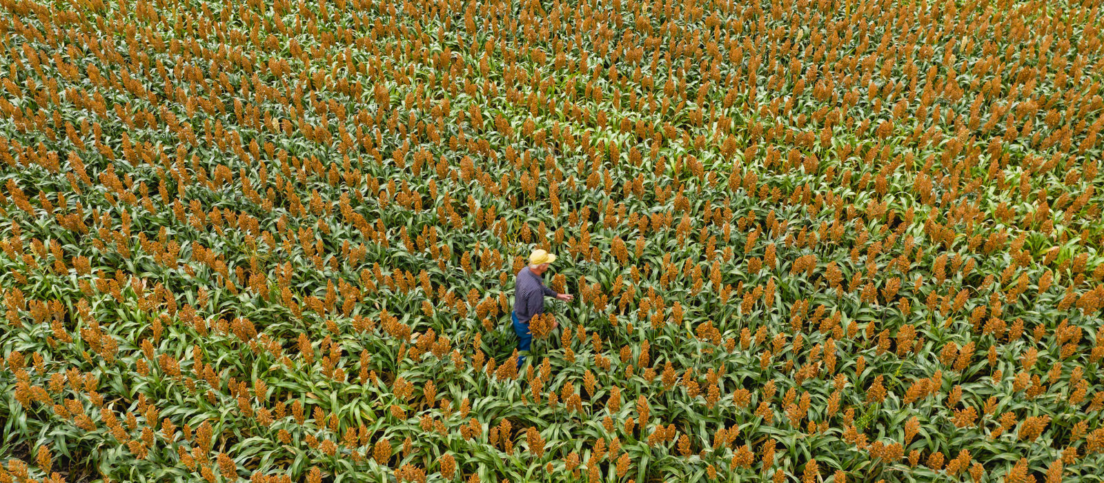 Overview of farmer in milo field