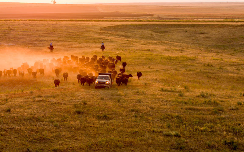 truck in field followed by cattle and 2 ranchers on horseback