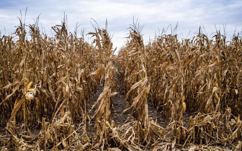 Corn field ready to harvest