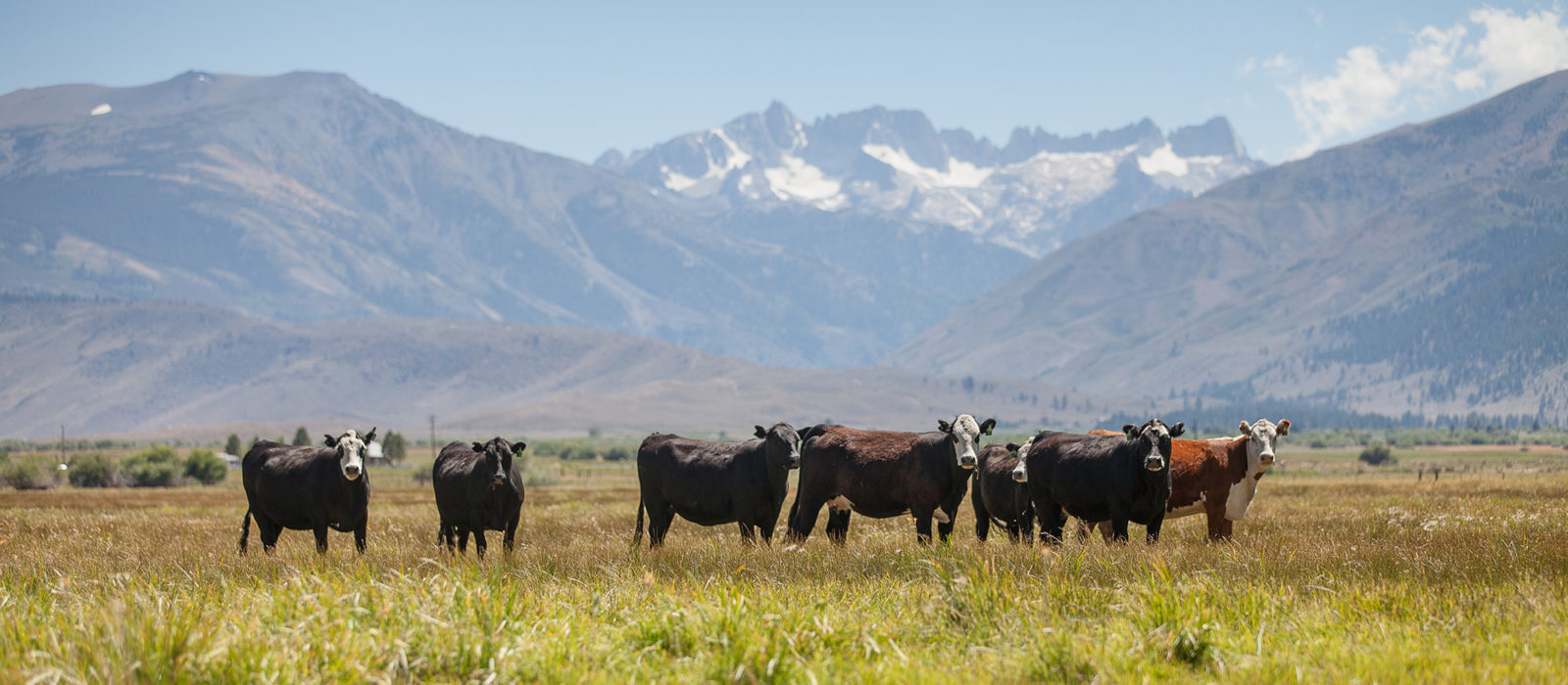 cattle in a field with mountains in the distance