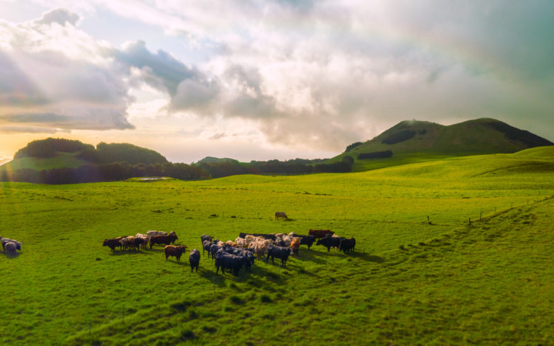 Cattle in lush green field with sun rays