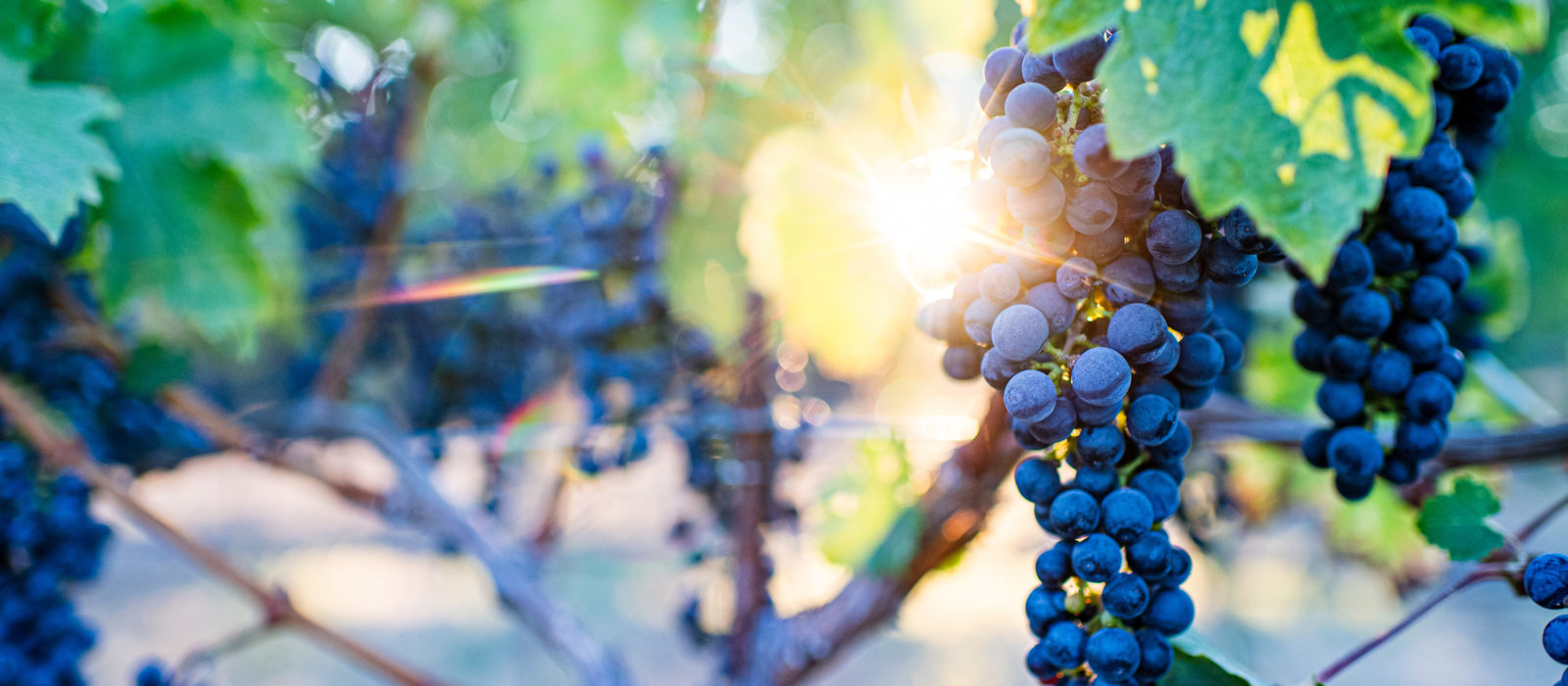 closeup of grapes on the vine with sun shining through