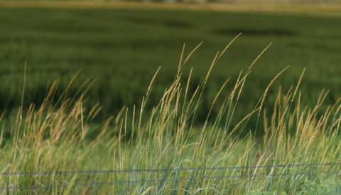Tall grass on a field
