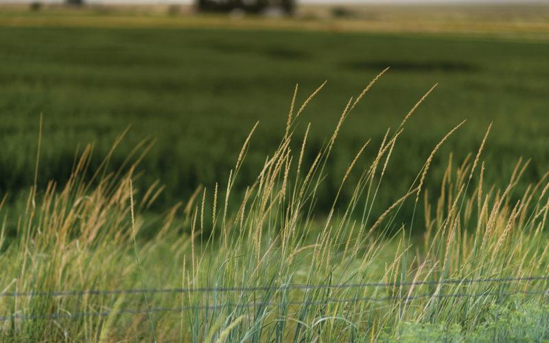 Tall grass on a field